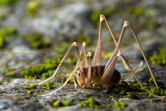 cave cricket (Dolichopoda linderi) in floor