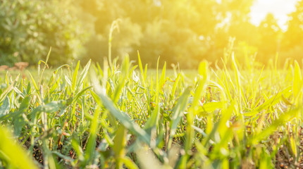 Grass in the evening sun. Blurred background. Macro image.