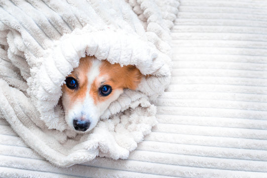 dog is wrapped in a bedspread on the bed. Concept fall. White background