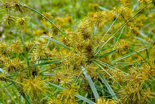 Horizontal image of common nutsedge (Cyperus esculentus), a perennial weed, in flower