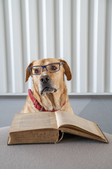Dog with eyeglasses reading old hradcover book. Learning concept.