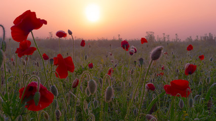 Fototapeta Red wild poppy flower in a field at sunrise
