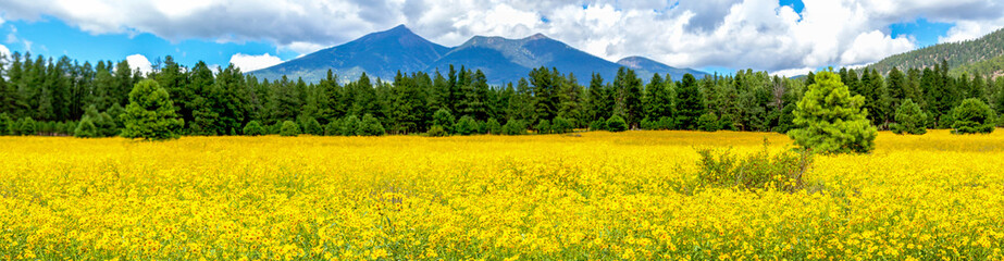 Fotobehang Oranje Flowers and Mountains. Mexican Sunflower Field in Flagstaff Arizona Panoramic