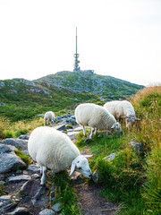 Sheeps at Ulriken (643 MASL)