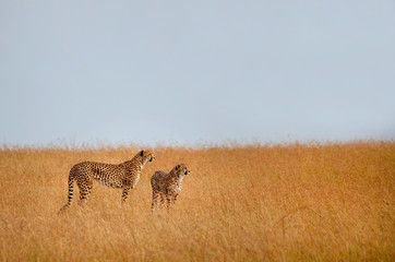 Cheetahs standing in grassy field