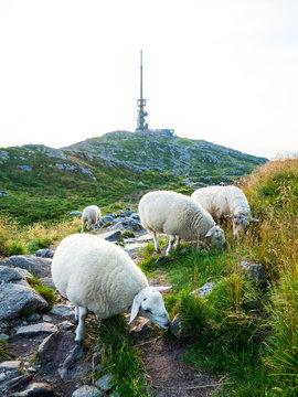 Sheeps at Ulriken (643 MASL)