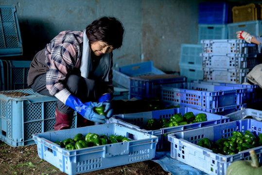 Senior woman sorting freshly picked green peppers