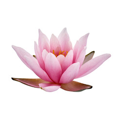 Pink Lotus or Water lily isolated on white background