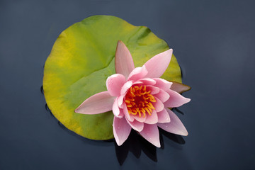Garden Poster Lotus flower Beautiful pink lotus or water lily flowers blooming on pond