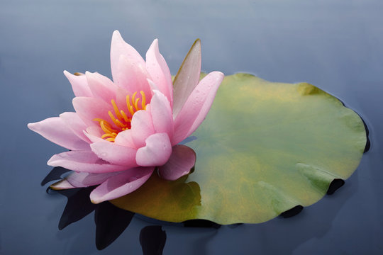 Beautiful pink lotus or water lily flowers blooming on pond