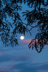 Soft Focus Moonset with Pink Clouds Silhouetted by Dark Tree Branches