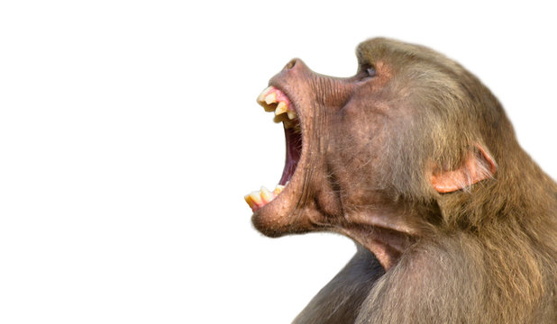 Baboon isolated on white background. Baboon monkey (Pavian genus Papio) screaming out loud with large open mouth and showing pronounced sharp teeth in loud intimidating aggressive behaviour display