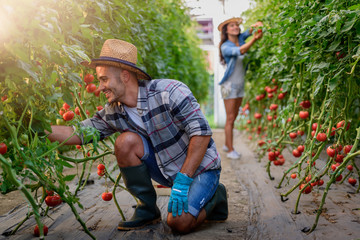 Man and woman growing organic vegetables picking tomatoes at greenhouse