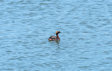 Horned Grebe in a Coastal Estuary