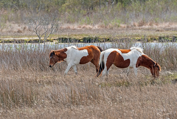 Chincoteague Ponies in a Coastal Wetland