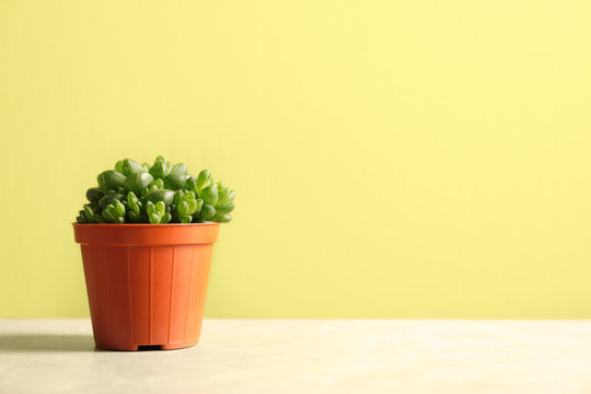 Beautiful succulent plant in pot on table against yellow green background, space for text. Home decor