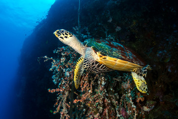 Hawksbill Sea Turtle feeding on the wall of a tropical coral reef