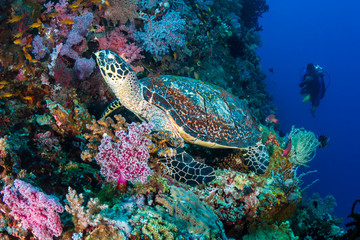 Wall Mural - Hawksbill Turtle and background scuba diver on a tropical coral reef