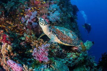 Hawksbill Turtle and background scuba diver on a tropical coral reef