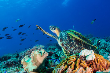 Wall Mural - A Green Sea Turtle (Chelonia mydas) on a colorful tropical coral reef