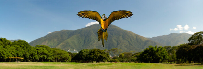 View of the  iconic  Caracas mountain el Avila or Waraira Repano and a flying macaw from the East Park or Parque del Este. Caracas Venezuela.