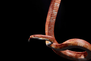 Close up of Corn snake