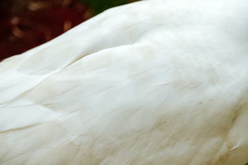 Close-up of a white goose's back