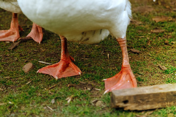 Close-up of geese legs on a farm