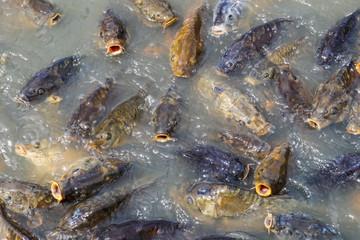 Israeli Carp, White Amur, Bream, Catfish and Hybrid Bass