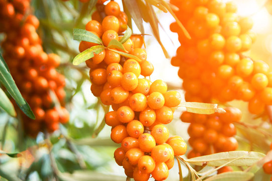 Sea-buckthorn berries and tree close up