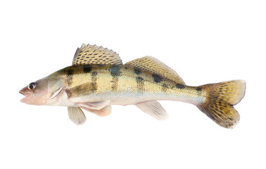 Live zander or pikeperch isolated on white background