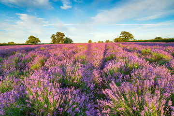 Wall Mural - A Field of Lavender in Somerset