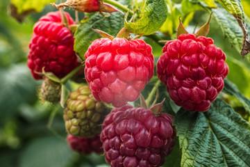 Close-up ripe raspberry in the garden