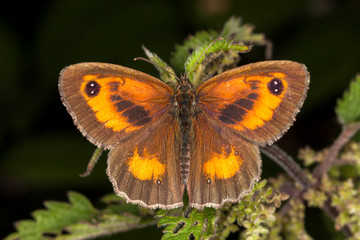 Gatekeeper Butterfly (Pyronia tithonus) commonly known as Hedge Brown