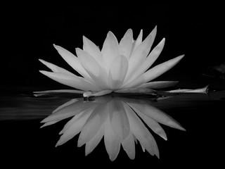 Fond de hotte en verre imprimé Nénuphars black and white lotus with water reflection