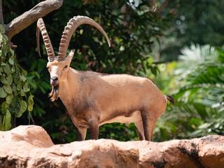 Fototapeta The Walia Ibex from the mountains of Ethiopia obraz