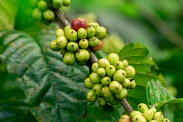 Fresh green coffee beans on Branch of a Coffee Tree