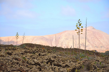 Volcanic Landscape in Fuerteventura with Cactus Flowers and Lifeless Mountains
