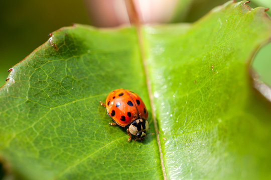 Multicoloured Asian Ladybird - Ladybug Harmonia axyridis walks on a leaf