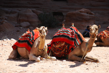Foto op Canvas Kameel Camels in the lost city of Patra, Jordan