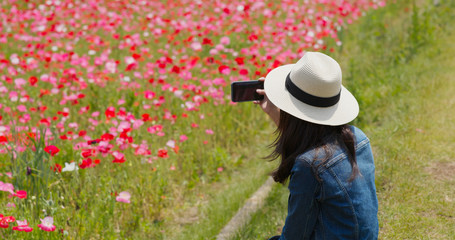 Woman take picture with cellphone on poppy flower garden