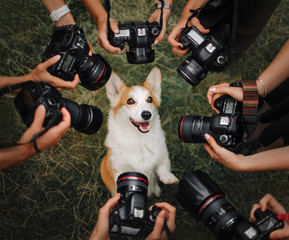 Welsh Corgi Pembroke dog posing for cameras
