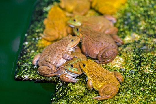 Frogs wait to catch insects to eat as food.