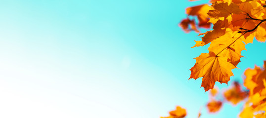 Golden autumn concept with copy space. Sunny day, warm weather. Autumn yellow leaves on blue sky background.