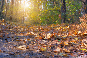 Fototapeten Dunkelbraun Autumn forest landscape on a sunny day with maple leaves background. Orange and yellow autumn leaves background. Sunlight in landscape.