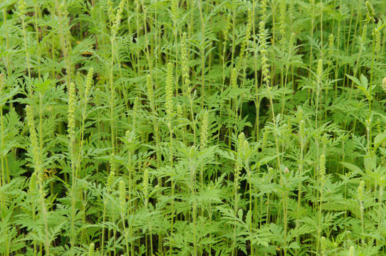 Ambrosia is a source of allergies. Blooming ragweed in nature.