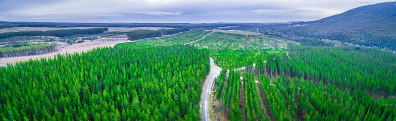 Aerial panorama of pine trees plantation in Melbourne, Australia