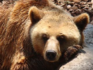 oso pardo posando para foto