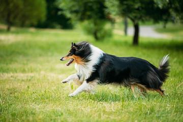 Fototapeta Shetland Sheepdog, Sheltie, Collie. Play Run Outdoor In Summer Grass