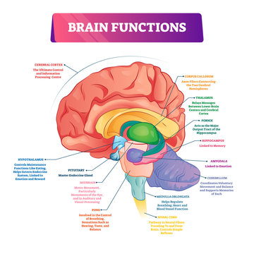 Brain functions vector illustration. Labeled explanation organ parts scheme